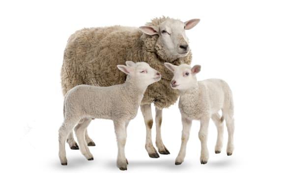 Sheep first image