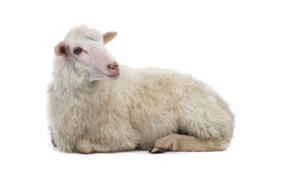 Sheep second image