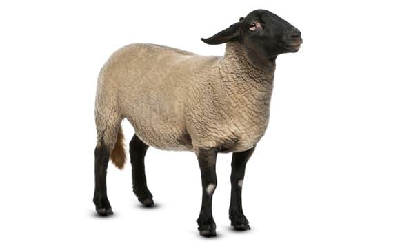 Sheep third image